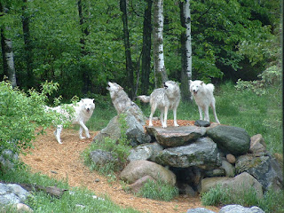 Photo of Wolf Pack by Quapaw from FreeImages