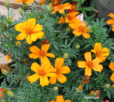 Tagetes tenuifolia, signet marigold