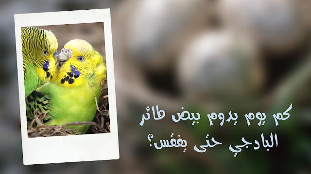 كم يوم يدوم بيض طائر البادجي حتى يفقس؟؟