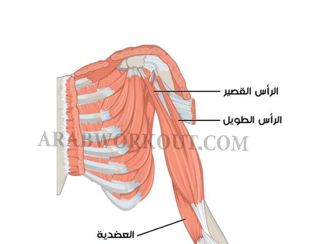 عضلة البايسبس
