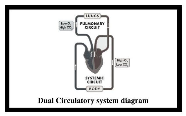 Dual Circulatory system diagram