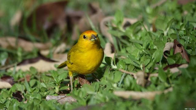 Saffron Finch Sicalis flaveola pelzelni Canário-da-terra-verdadeiro Semillero Basto