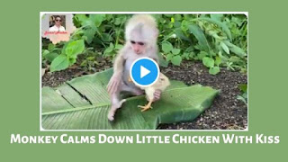 Monkey Calms Down Little Chicken With Kiss