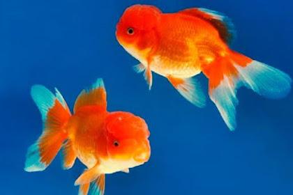 Inilah Jenis Ikan Hias yang Tidak Galak di Aquarium