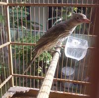 Burung Ara Mata Merah Muda Jantan