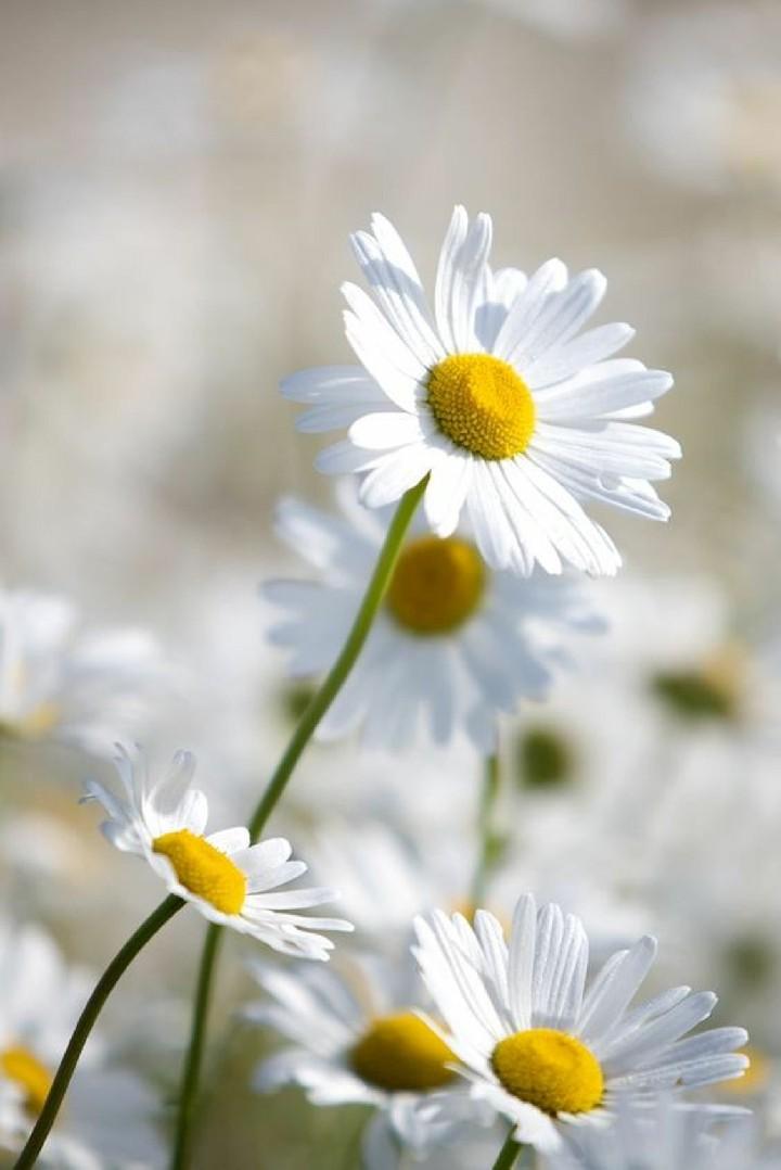 Hinh nen hoa cuc dep%2B%25288%2529