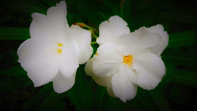 Dual Deep White FLower Photography | From'S Photography
