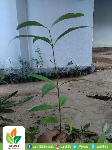 Pengiriman Bibit Pohon Pule ke Jakarta Barat