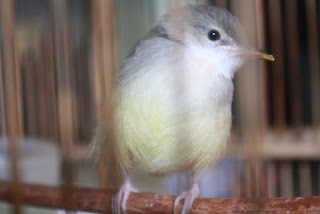 Burung Ciblek - Penyakit Snot atau Coryza yang Menyerang Burung Ciblek dan Cara Penangannannya - Penangkaran Burung Ciblek