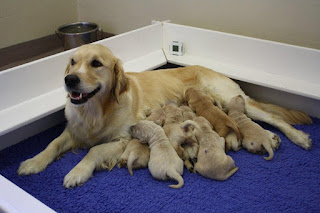 Guide Dogs - Volunteer Helpers