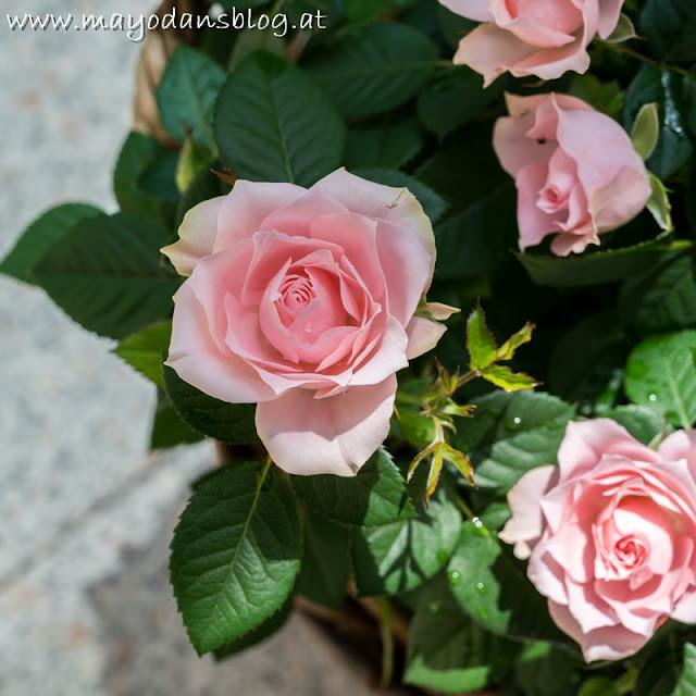 rosa Topfrosen