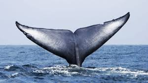 Image of 52 hz Whale