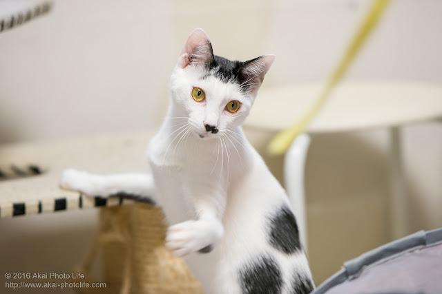 国分寺シェルターにいた白黒ブチの猫が紐と遊んでいる時の写真