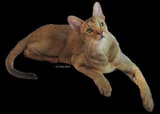 gambar kucing Chausie