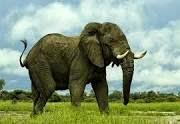 ماذا تعرف عن الفيل Elephant
