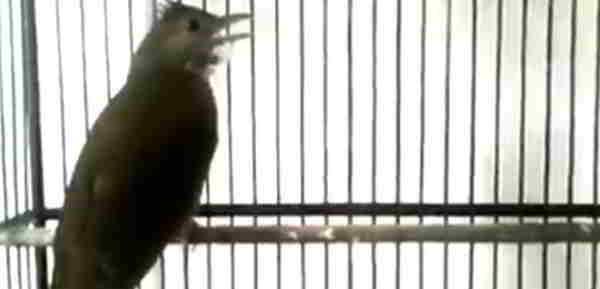 Suara Kicauan Burung Kapas Tembak Ngerol