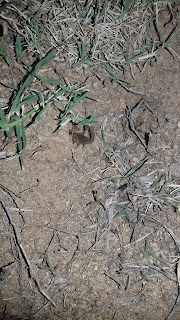 black brown scorpion