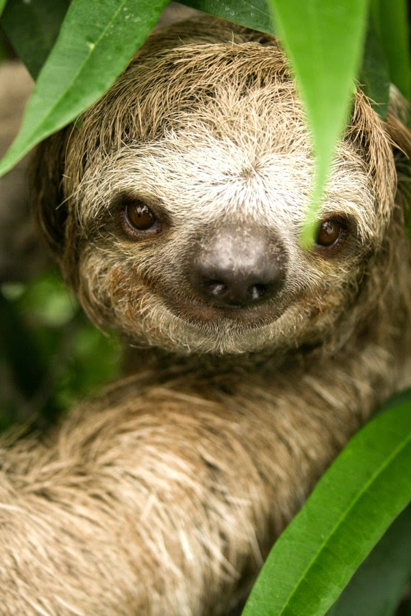 sloth three toed rainforest animals amazon sloths maned throated pale pygmy brown
