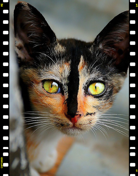 Picture of a calico cat with a memorable blaze