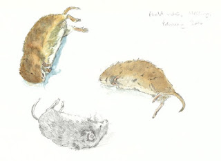 Watercolour and pencil studies of a field vole