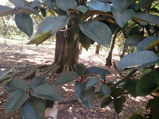 Caucho del Tequendama (fig) – Ficus tenquendamae - large colombia andes tree arbol leaves bark