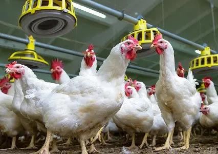 متى يحتاج الدجاج الى مضاد حيوي