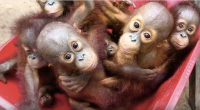 Orangutan sekolah