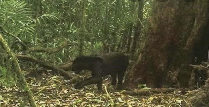 Erupsi Merapi 2010 Ditemukan Jejak Harimau Sampai Pemukiman, Kalau Sekarang?