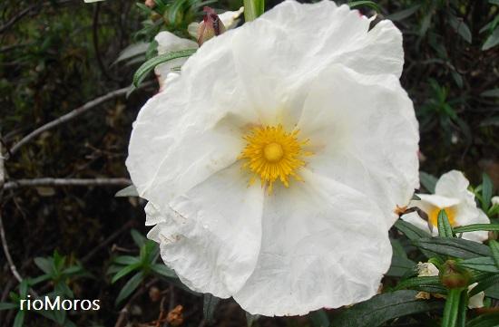 Flor de jara Cistus laurifolius