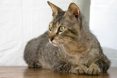 Kucing Bramble