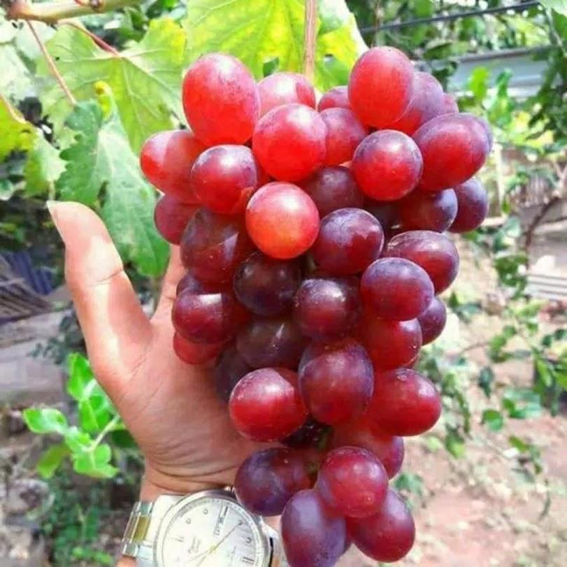Bibit Anggur Import Jenis Ninel Sulawesi Utara