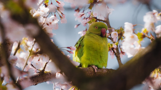 Papel de Parede Celular Pássaro Periquito Australiano