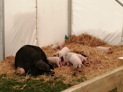 image contains pig, piglets