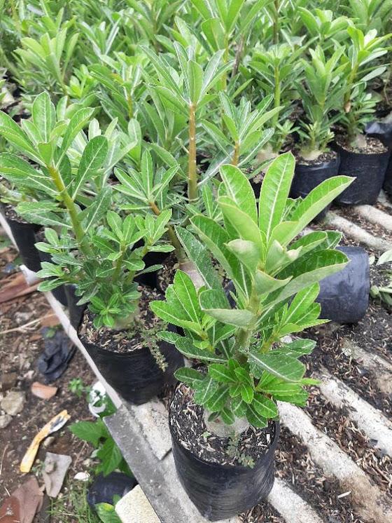 Adenium Kamboja Cabster Cabang seribu 1 paket isi 3 pohon size A Sumatra Barat