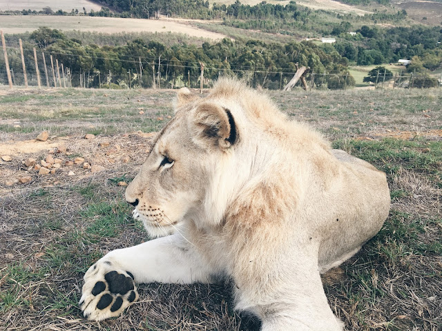 south africa, work trip, travel, marketing, product, babywear, fashion, photoshoot, experience, animals, tv, film, cape town, lions, cheetahs,