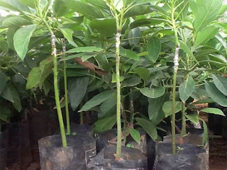 Viện cây giống trung ương, bơ 034, giống bơ mới, chuẩn giống, chuẩn chất lượng.