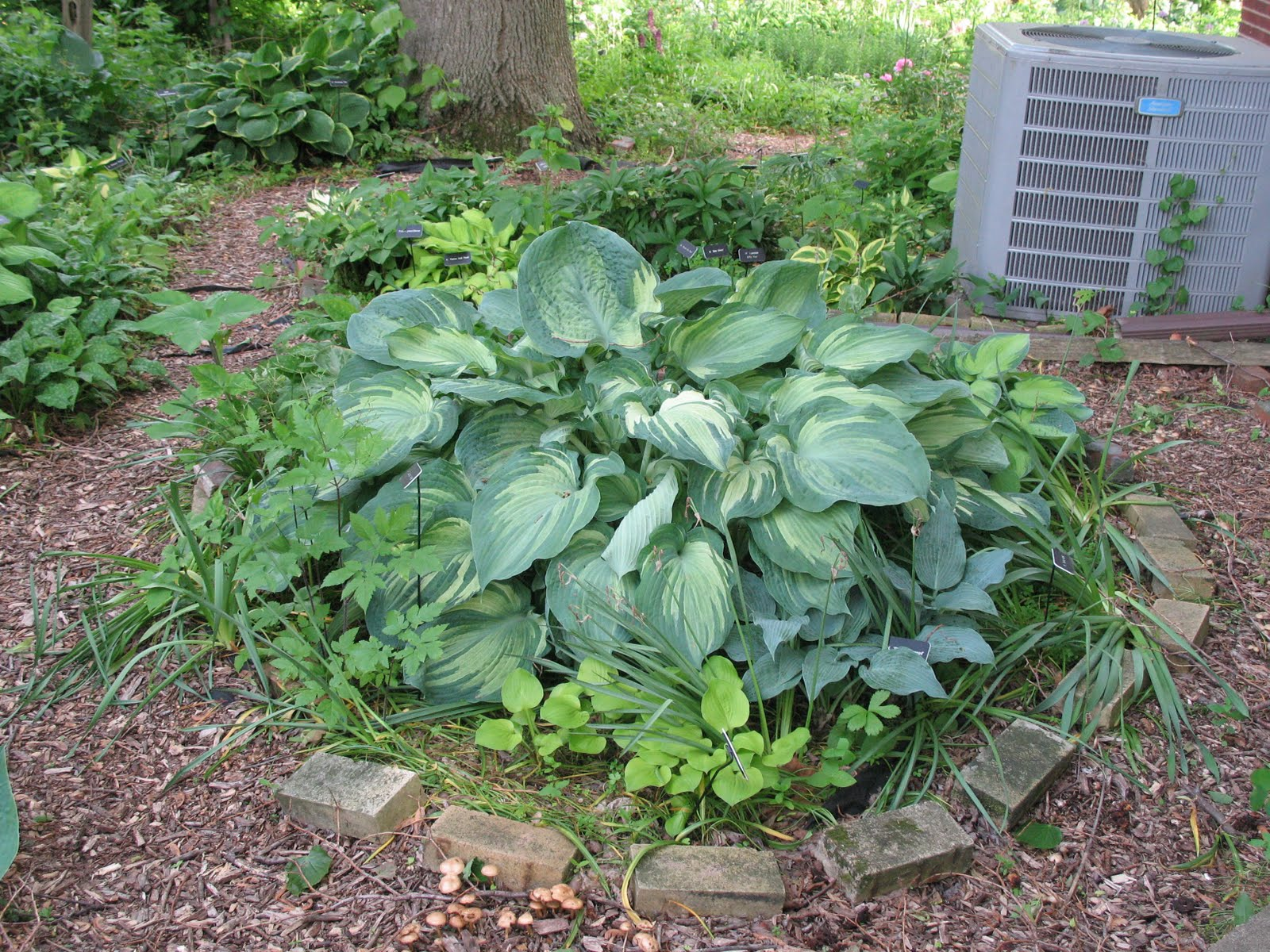 Mears Garden Hosta Thoughts May 30 2011