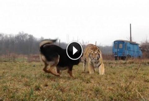 Μία τίγρης έτρεξε πάνω στο σκύλο της. Η συνέχεια θα σας συγκλονίσει (VIDEO)