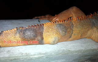 cara mengatasi ekor iguana grenjel benjol dan bengkak
