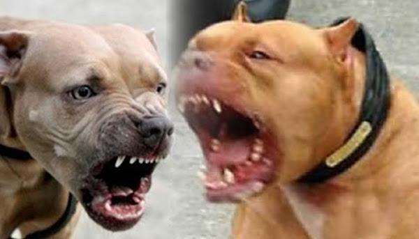 Muere niño de 7 años tras ser atacado por dos perritos Pitbull cuando estaba solo en casa, en Chalco