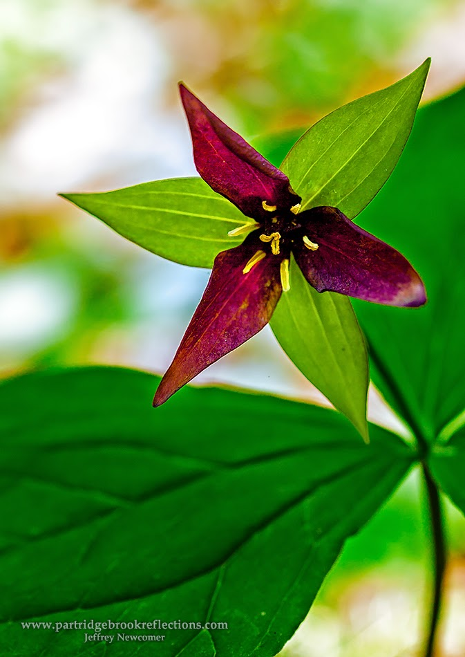 Trillium, Fox Forest, Hillsborough, NH