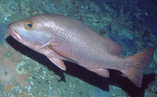 Lutjanus argentimaculatus - Red snapper - Thambalaya/තම්බලයා