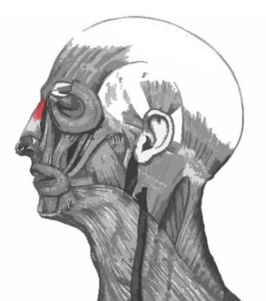 Dibujo resaltado de color rojo del músculo prócer