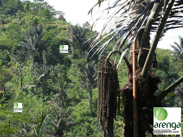 mengapa arenga palm sugar disebut organik