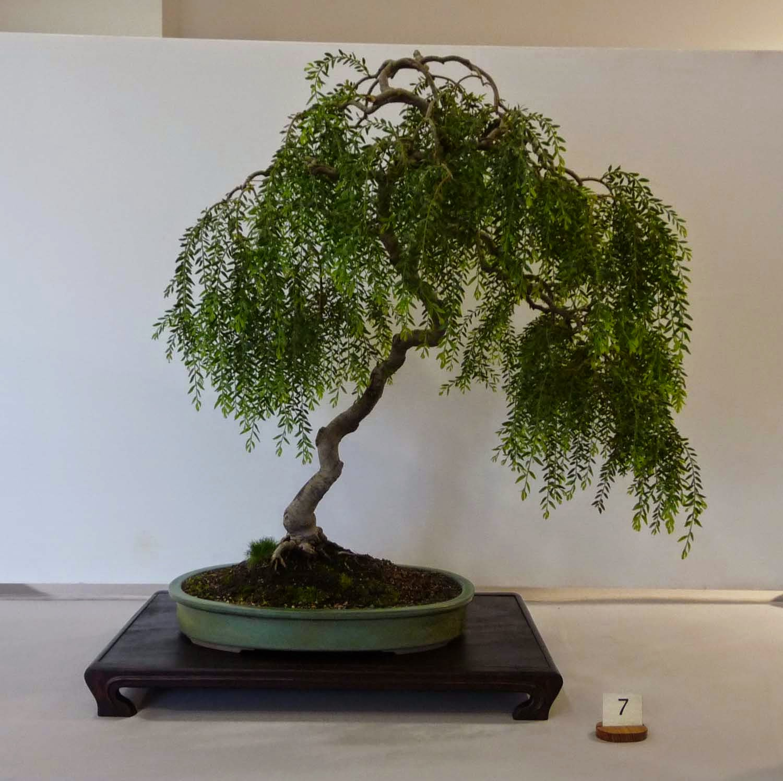 24 Cozy Eucalyptus Bonsai Ideas