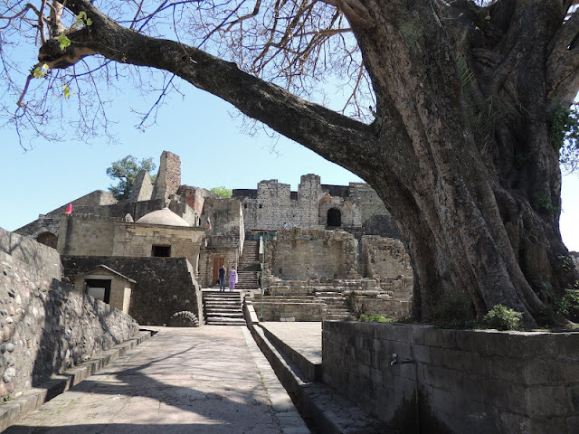 peepul tree kangra fort