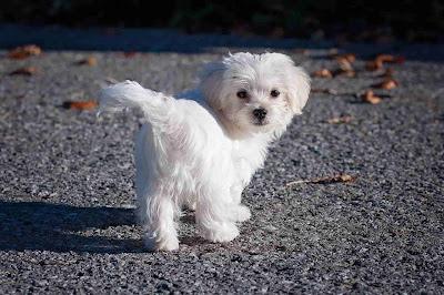 white dog breeds, small white dog breeds