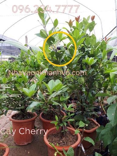 Mua bán rao vặt: Trồng cherry để làm đẹp vườn nhà Cay-cherry-khanh-vo-8