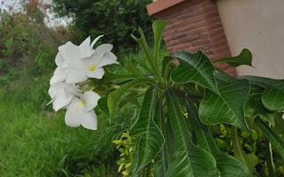 Gambar Bunga Kamboja yang Indah 5