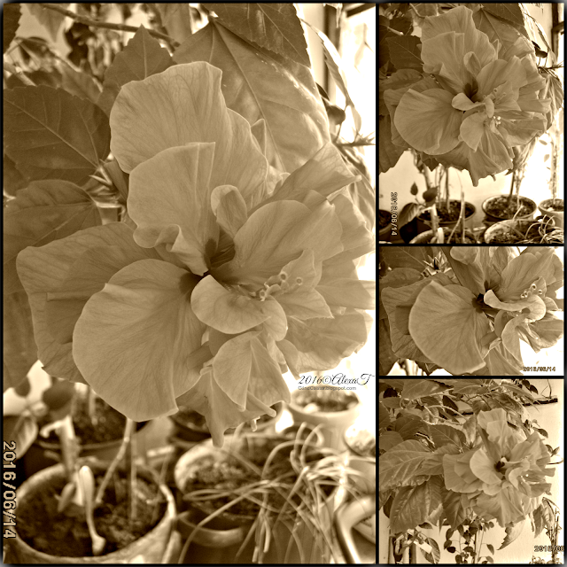 Hibiscus. College in sepia